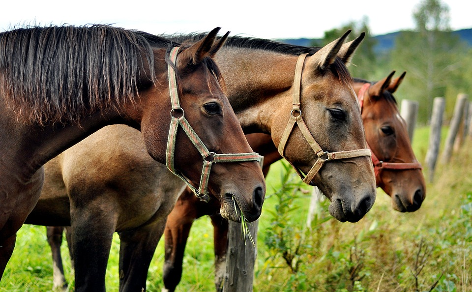 Le cheval sait bloquer ses articulations pour dormir debout. (Crédit : Pixabay License)