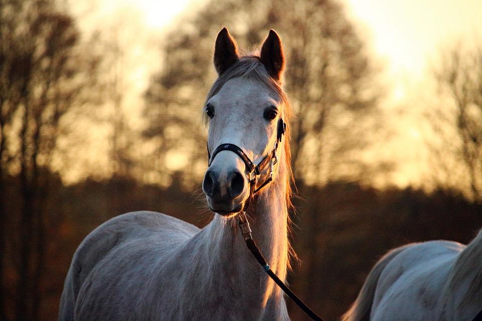 Le cheval ne peut pas vomir à cause de l'anatomie de son système digestif. (Crédit : Pixabay License)