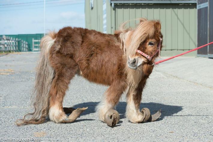 Le poney laissé de longues années sans soins. (Crédit : Page Facebook Animaux en Péril)