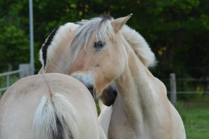 Le leadership serait partagé entre les chevaux. (Crédit : Gaëlle Colinet)