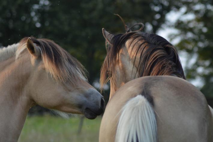 Les échantillons sanguins donnent beaucoup d'informations sur l'état du cheval. (Crédit : G. Colinet)