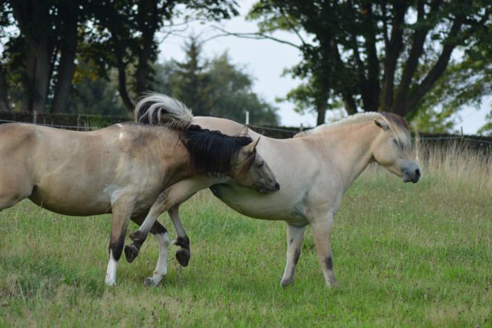 Les coups de pieds sont monnaie courante entre chevaux. (Crédit : G. Colinet)