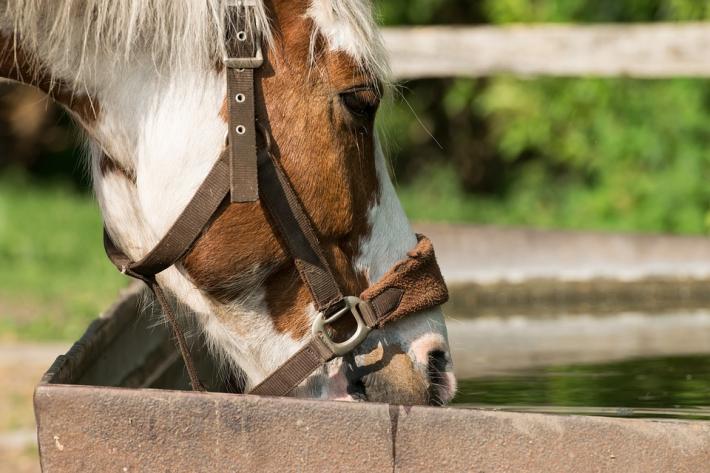 Garder un cheval de sport hydraté n'est pas toujours facile. (Crédit : CC0 Creative Commons)