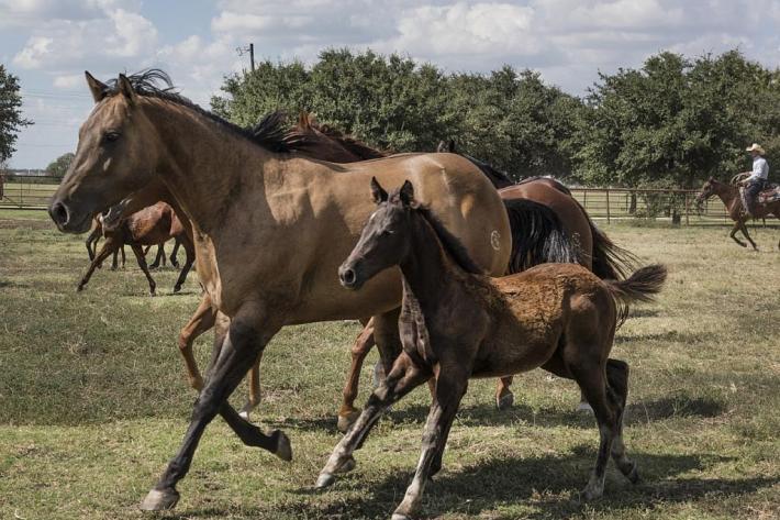 La composition du lait des juments Quarter horse est plus protéiné. (Pixabay License)
