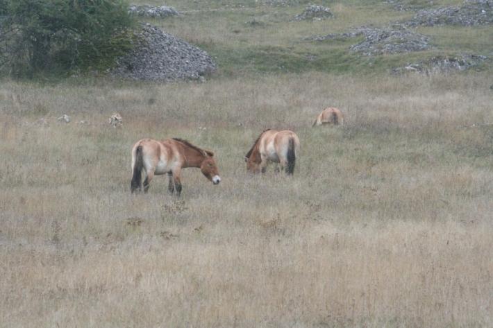 Les chevaux de Przewalski sont progressivement réintroduit en Asie. (Crédit : L'Equimag)