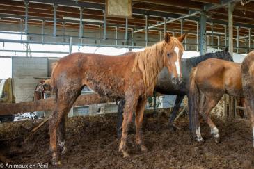 L'état des chevaux saisis chez le marchand d'Ogy. (Crédit : Animaux en Péril ASBL)