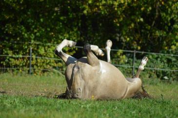 La roulade représente un réel massage pour le cheval. (Crédit : Colinet)