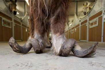 L'état des pieds de Poly lors de sa saisie (Crédit : Page Facebook Animaux en Péril asbl)