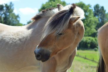 Les chevaux génèrent plus de 3 milliards d'euros en Belgique. (Crédit : Gaëlle Colinet)