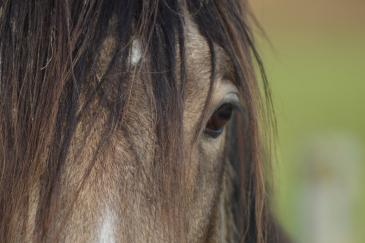 En regardant les yeux d'un cheval, il est possible de connaître son état émotionnel. (Crédit : Colinet)