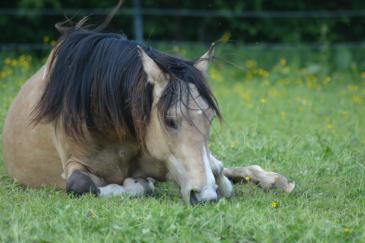 Les chevaux mâchent très intensivement leurs aliments. (Crédit : Gaëlle Colinet)