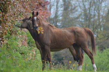 Le déplacement des chevaux d'un pays à l'autre sera facilité. (Crédit : Gaëlle Colinet)