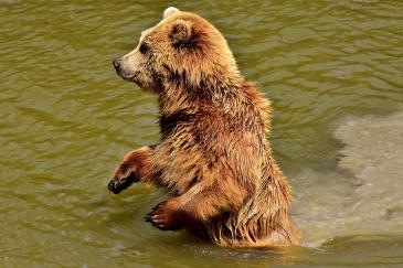 Goiat est un ours brun introduit dans les Pyrénées en 2016. (Crédit : CC0 Creative Commons)