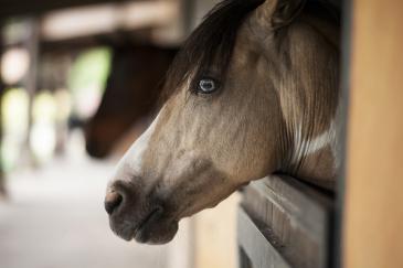 L'état émotionnel du cheval influence grandement son apprentissage. (Crédit : CC0 Creative Commons)