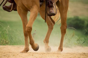 Le cheval est le seul animal qui a des jambes et non des pattes. (Crédit : Pixabay License)