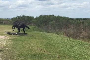 Le puissant étalon a attaqué l'alligator. (Crédit : Vidéo Youtube)