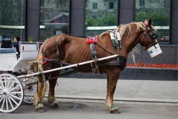 Un cheval attelé dans la ville de Montréal. (Crédit : Montréal SPCA)