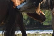 Les liens sociaux sont très importants pour les chevaux. (Crédit : Gaëlle Colinet)