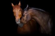 Génétiquement parlant, ces deux chevaux différent par leur gène extension. Ils peuvent par contre tous les deux avoir le génotype (Aa) ou (AA) sur le gène agouti! (Crédit photo: callipso88/Adobe Stock)