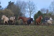 Nourrir les chevaux en troupeau n'est pas toujours une mince affaire. (Crédit : G. Colinet)
