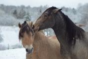 Les interactions sont plus positives si les chevaux sont laissés ensemble jour et nuit. (Crédit : Colinet)