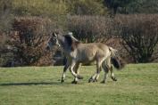 Depuis 2012, l'ASBL Natur'Horses recueille de nombreux chevaux. (Crédit : Gaëlle Colinet)